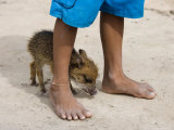 Pet Pig Between Boy's Feet in Amazon Rainforest Village Photographic Print by Holger Leue