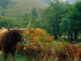 Highland Cow Standing Amongst the Bracken Below Ben Nevis Photographic Print by Kristin Piljay