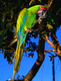Great Green Macaw at Tilijari, Costa Rica Photographic Print by Tom Boyden
