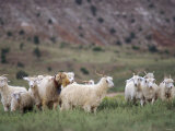 Sheep Herd on the Navajo Nation Reservation in Arizona Photographic Print