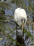 Wood Stork Looking for Fish, Everglades National Park, Florida Photographic Print