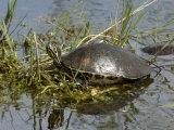Painted Turtle, Everglades National Park, Florida Photographic Print