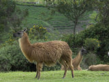 Llamas Amid the Inca Ruins at Ingapirca in the Andes Mountains, Ecuador Photographic Print