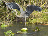 Great Blue Heron Landing, Everglades National Park, Florida Photographic Print