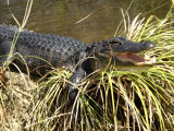 Alligator, a Threatened Species, Beside a Waterway in Everglades National Park, Florida Photographic Print