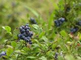 Wild Blueberries, Maine Photographic Print