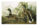 Mallard Duck, Plate CCXXI, Aquatint with Engraving and Hand-Colouring, on J. Whatman, 1831 Art by John James Audubon
