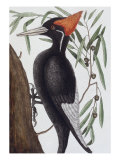 Large White Billed Woodpecker, Natural History of Carolina, Florida and the Bahamas Islands, 1731 Posters par Mark Catesby