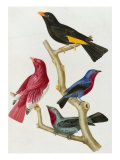 Chatterer Birds, c.1852-1856 Giclee Print by Jean-Theodore Descourtilz