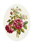 Damask Rose, Collection of Flowers Drawn and Disposed in an Ornamental and Picturesque Manner Giclee Print by John Edwards
