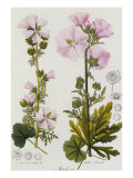 Common Mallow, Malvaceae, 1850-1909 Giclee Print by H.g.l. Reichenbach