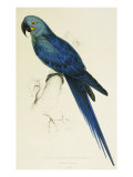 Hyacinthe Maccaw, Macrocercus Hyacinthanus, Illustration of the Family of Psittacidae, or Parrots Giclee Print by Edward Lear