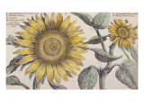 Giant Sunflower,. the Hortus Floridus, Hand-Coloured Plate, c.1614 Giclee Print