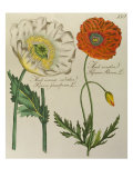 Red and White Poppy, c.1803-1810 Giclee Print by Peter Martynovich Hoffmann