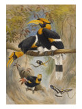 The Rhinoceros Hornbill, Buceros Rhinoceros, Zoological Sketches, 1856 Poster by Joseph Wolf