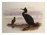 Green Cormorant or Shag, Vignette, 19th Century Posters by Archibald Thorburn