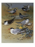 Various Terns, 1915 Posters by Archibald Thorburn