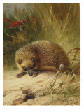 Hedgehog, 1928 Poster by Archibald Thorburn
