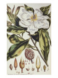 Magnolia, Figures of the Most Beautiful, Useful and Uncommon Plants, c.1757 Giclee Print by Philip Miller