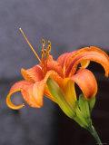 Lily Lilium Genus Photographic Print