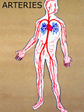 Body Arteries Clear Pulmonary and Systemic Photographic Print