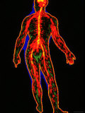 Nervous System, Full Body Central Nervous System Photographic Print