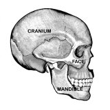 Human Skull Labeled Side View Photographic Print