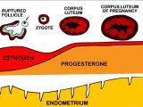 Corpus Luteum Ovum Fertilized Endometrium Photographic Print