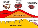 Corpus Luteum Ovum Estrogen Progesterone Photographic Print
