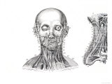 Muscles of the Face and Neck Giclee Print