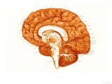 Convolutions Right Hemisphere of Brain Giclee Print