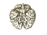 Cerebrum Brain Hemisphere Giclee Print