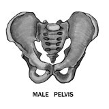 Male Pelvis Labeled Photographic Print