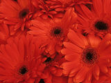 Gerbera Daises Old World Showy Flower Photographic Print