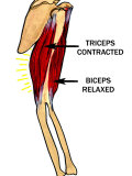 Biceps Relaxed, Triceps Contracted Photographic Print