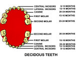 Decidous Tooth Organ Gum Teeth Milk Label Photographic Print