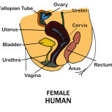 Human Female Reproductive System Photographic Print