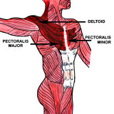 Muscles of the Anterior Chest Photographic Print