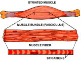 Make-Up of Striated Muscle Photographic Print