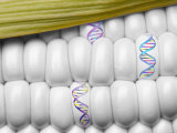 DNA Corn Genetic Engineer Yellow White Food Photographic Print