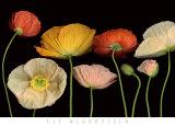 Poppy Garden I Affiche par Pip Bloomfield