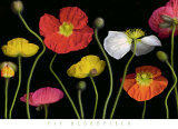 Poppy Garden II Prints by Pip Bloomfield