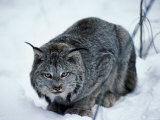 Lynx Hunting Prey in Freezing Snow Photographic Print