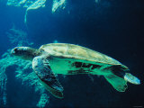 Underwater Picture of a Swimming Green Sea Turtle Photographic Print