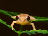 Close Up of a Coqui Singing Frog on Leaves in the Caribbean Photographic Print