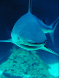 Underwater Picture of a Swimming Caribbean Reef Shark Photographic Print