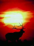 Silhouette of Elk Standing in Field at Sunset Photographic Print