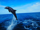 Bottlenose Dolphin Jumping into the Ocean Photographic Print