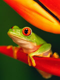 Red-Eyed Tree Frog Perched on Colorful Heliconia Flower Photographic Print