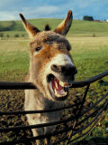 Donkey Laughing in Grassy Pasture Photographic Print
